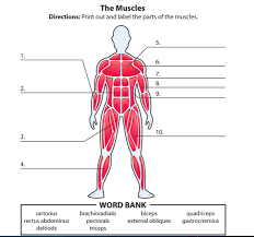 Anatomy Of Body Muscles Human Muscle Labeling U2013 Cultua Info