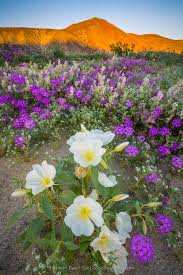 anza borrego desert anza borrego desert wildflower superbloom california u0027s drought