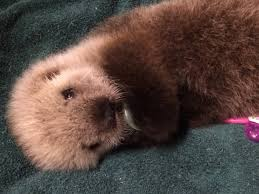 Baby Cribs Vancouver by Adorable Baby Sea Otter To Call Vancouver Aquarium Home Photos