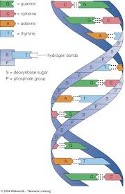 Dna Structure And Replication Worksheet Key Adorable Biol Semnext