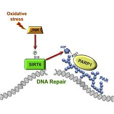 jnk phosphorylates sirt6 to stimulate dna double strand break repair