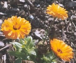 Calendula Flowers Calendula Bay Witch Musings