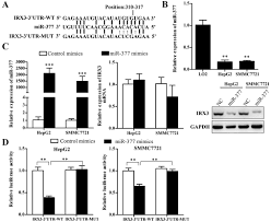 downregulation of mir 377 contributes to irx3 deregulation in