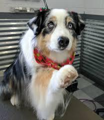 j bar w australian shepherd canine design all breed pet salon 16 photos pet services