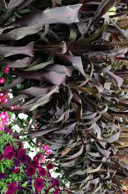 celebrate black plants on garden with diana