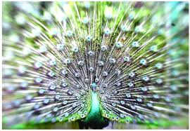 merak hijau damainya hati kala mentari bersinar lagi hewan u0026 tumbuhan langka