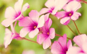 pretty flowers free wallpaper of flowers pretty purple verbena