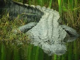 Alligators In Georgia Map Facts About Alligators