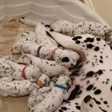 ad dalmatian puppy sale oklahoma tryon usa