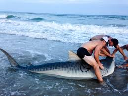 Beach Houses In Topsail Island Nc by Fishintopsail Com Angler Lands Monster Tiger Shark From Surf At