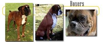 boxer dog european boxers info and games