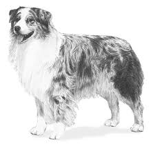 australian shepherd akc australian shepherd breed standard illustration dog shows u0026 show