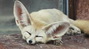 absurd creatures the fennec fox and its giant ears are too cute