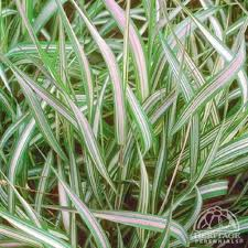 19 best groovy grasses images on ornamental grasses