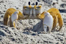 crabs and ghost crabbing outerbanks com
