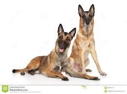 belgian malinois dog two belgian malinois shepherd dogs stock photo image 65627670