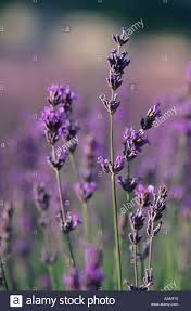 lavender flowers just before harvest in late july near lavensole