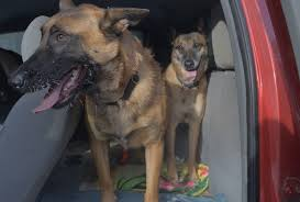 belgian shepherd edmonton what the dog smelled the science and mystery of cadaver dogs