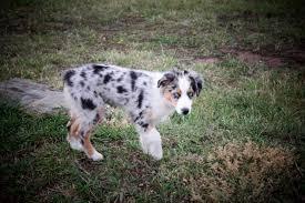 mini australian shepherd 6 months stonger miniature and standard aussies miniature and standard