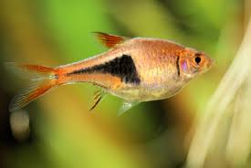 caring for the dwarf gourami