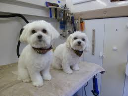 Dog Grooming Styles Haircuts Dog Grooming Hairstyles Images Reverse Search