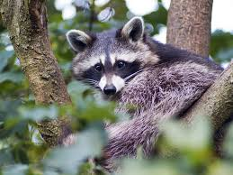 Indiana Wild Animals images Vermin rodents raccoons and other homeowner wildlife issues jpg