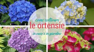 potare le ortensie in vaso coltivare le ortensie in vaso e in giardino donnaorganizzata