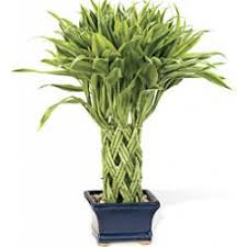 golden lucky bamboo indoor ornamental foliage plants coloeuful