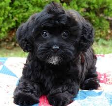 haircutsfordogs poodlemix shih poo shih tzu toy poodle puppies 2 males 1 female for sale