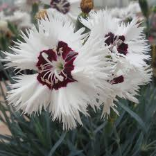 dianthus flower dianthus single stargazer from park seed
