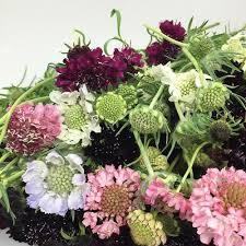 flower wholesale scabiosa assorted colors wholesale blooms by the box
