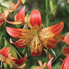 lily bulbs at thompson morgan