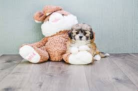 bichon frise for sale cheap teddy bear puppies for sale shichon puppies for sale in ohio