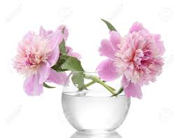Peonies Flower Pink Peonies Flowers In Vase Isolated On White Stock Photo