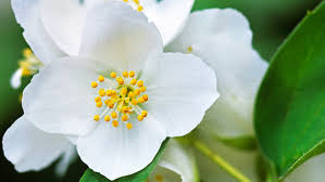 Most Fragrant Plants - best fragrant flowers sunset