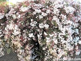 Climbing Plants That Flower All Year - how to care for the sweet pink jasmine everybody loves
