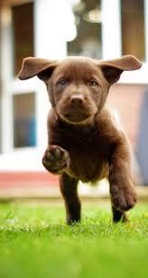 accounting resume exles australian kelpie lab silver rain labradors charcoal lab puppy love pinterest