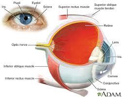 Anatomy Of A Cats Eye Cat Scratch Disease Scripps Health
