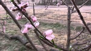 Blackmoor Fruit Trees - will a frozen fruit tree still produce fruit youtube