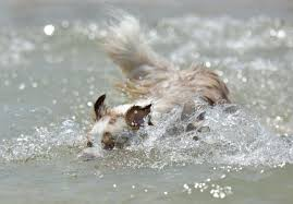 australian shepherd water free images beach nature sand play animal canine pet fur