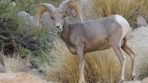 Arizona wildlife tours images View bighorn sheep from canyon lake this weekend arizona highways jpg