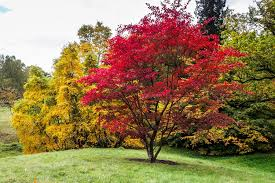 Ornamental Maple Tree Japanese Maples How To Plant Care And Prune Garden Design