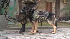 belgian shepherd killed russia unveils its body armour for dogs following the death of