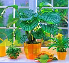 potted flowers 100pcs potted flowers calathea seeds seeds balcony bonsai plant
