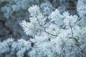 frosted tree branches stock photo image 51871334