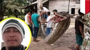 film ular phyton ular vs manusia pria bergulat dengan piton 7 meter di riau
