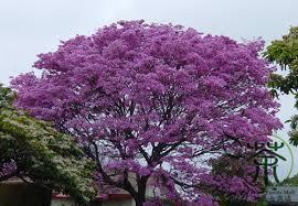 ornamental plant handroanthus impetiginosus seeds 100pcs pink