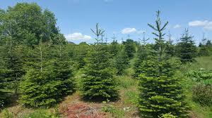 100 nordmann fir christmas tree smell christmas tree