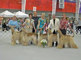 afghan hound king of dogs 204 best the king of dogs images on pinterest afghans afghan