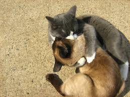 siamese twins cats